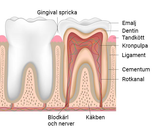 Tandens anatomi